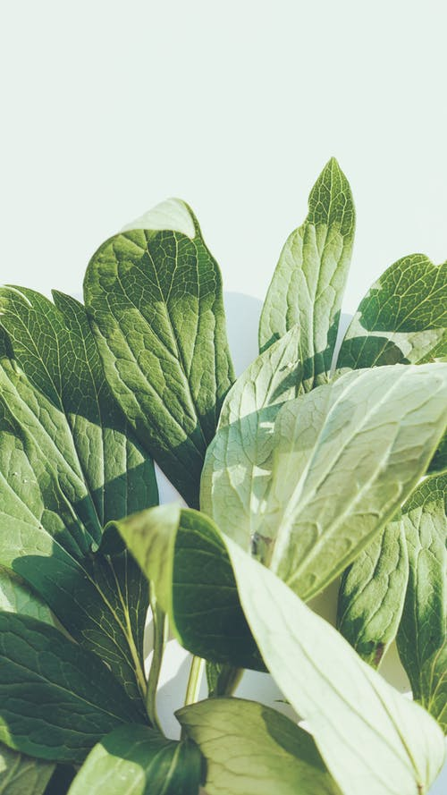 Close-Up Photo of Green Peony Leaves