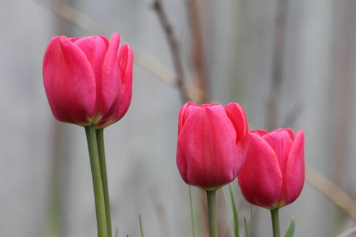 Close-Up Photo of Blooming Pink Tulips