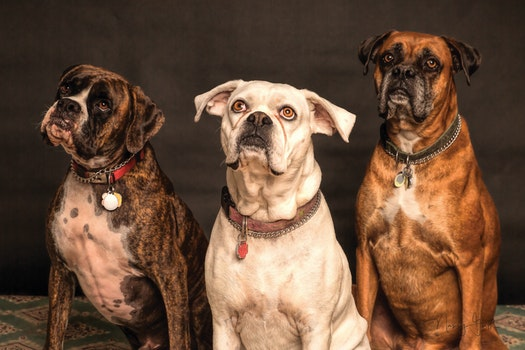 Photography of Three Dogs Looking Up