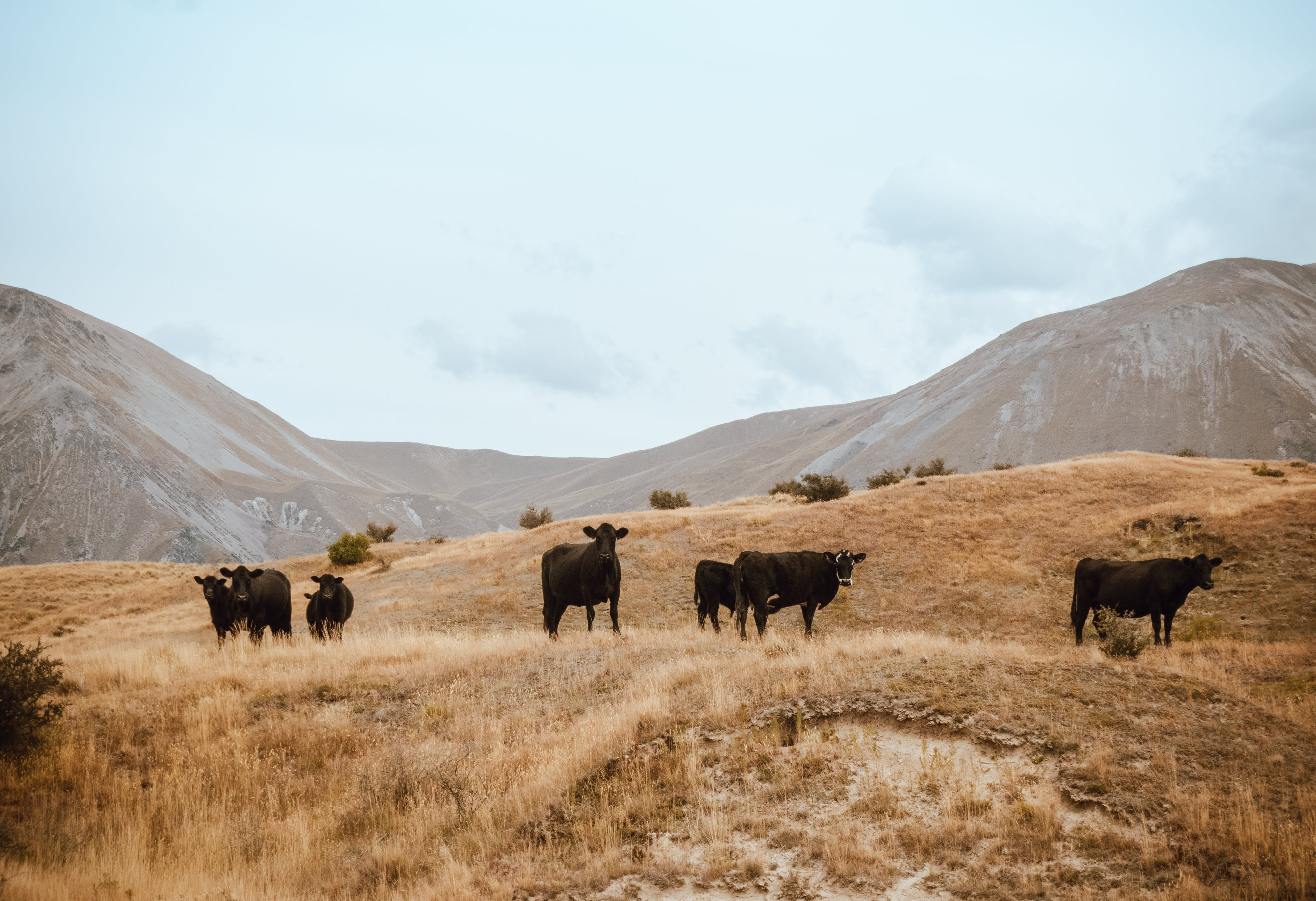 Herd of Cattle on Brown Grass Mountain Under White Sky