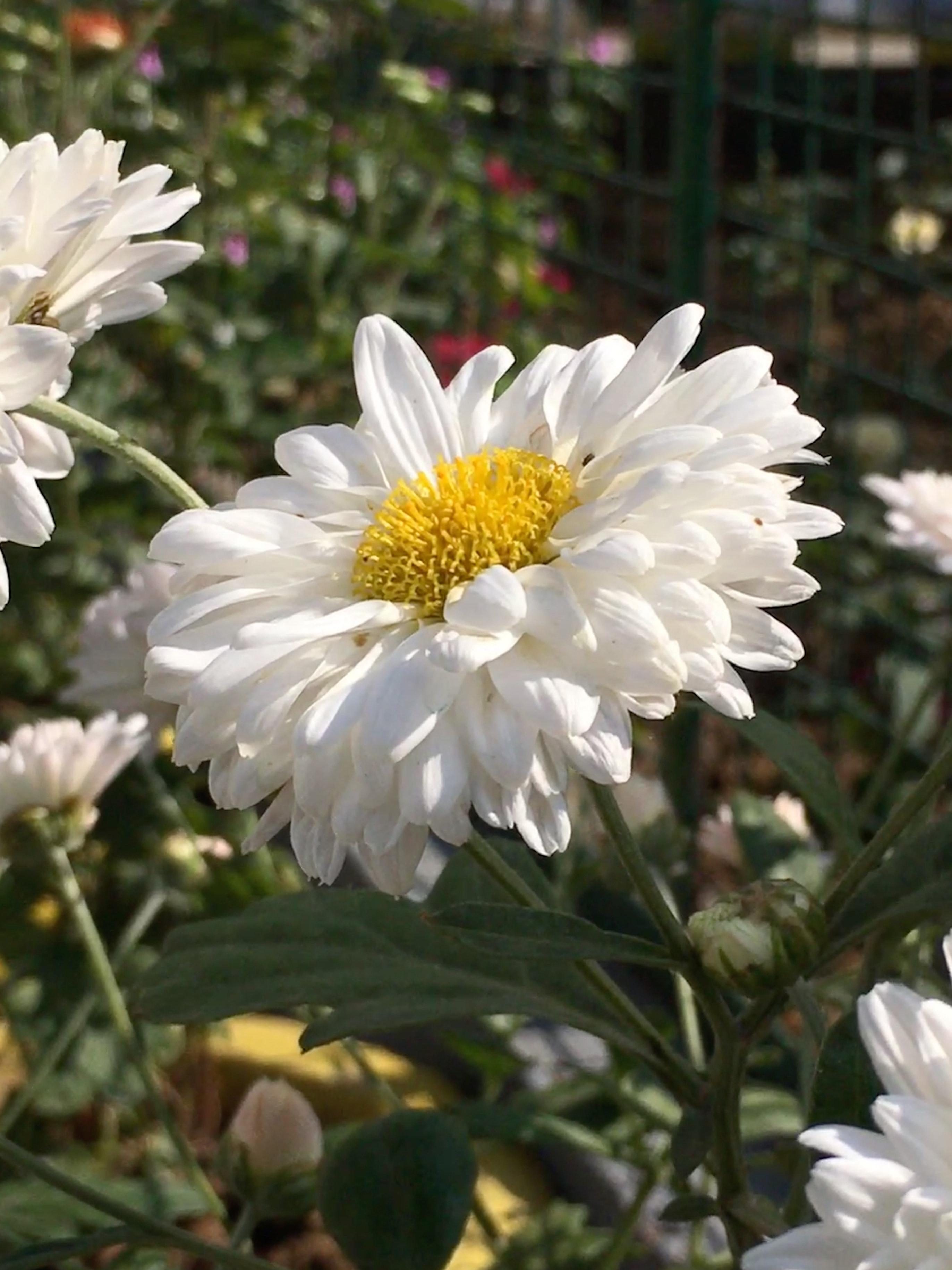 Free stock photo of beautiful garden flower in garden white flower free download izmirmasajfo