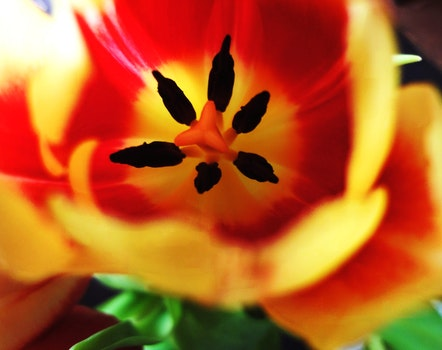 Free stock photo of red, spring, flower, tulip