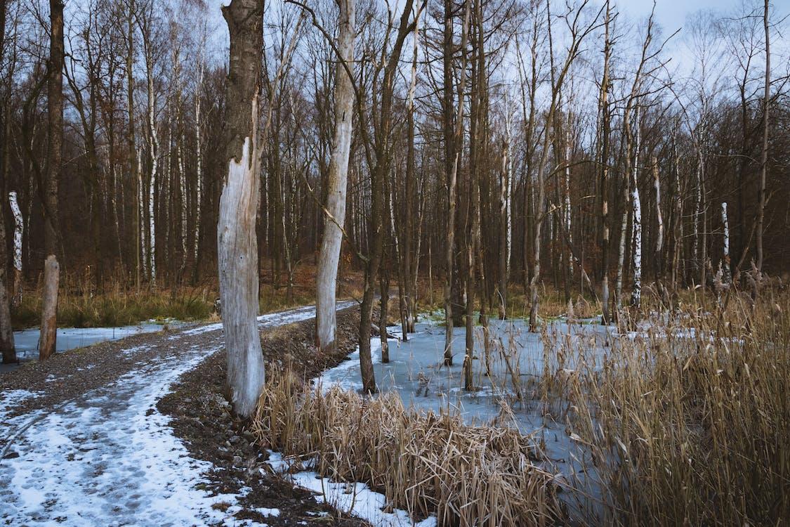 ice, snow, trees