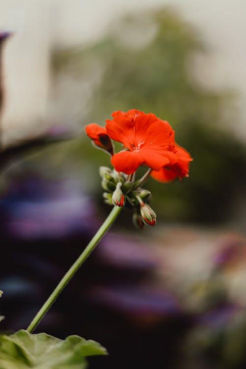 Close-Up Shot of an Orange Poppy in Bloom