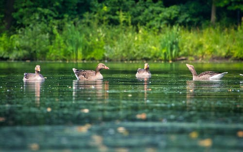 Three Brown and White Ducks on Water