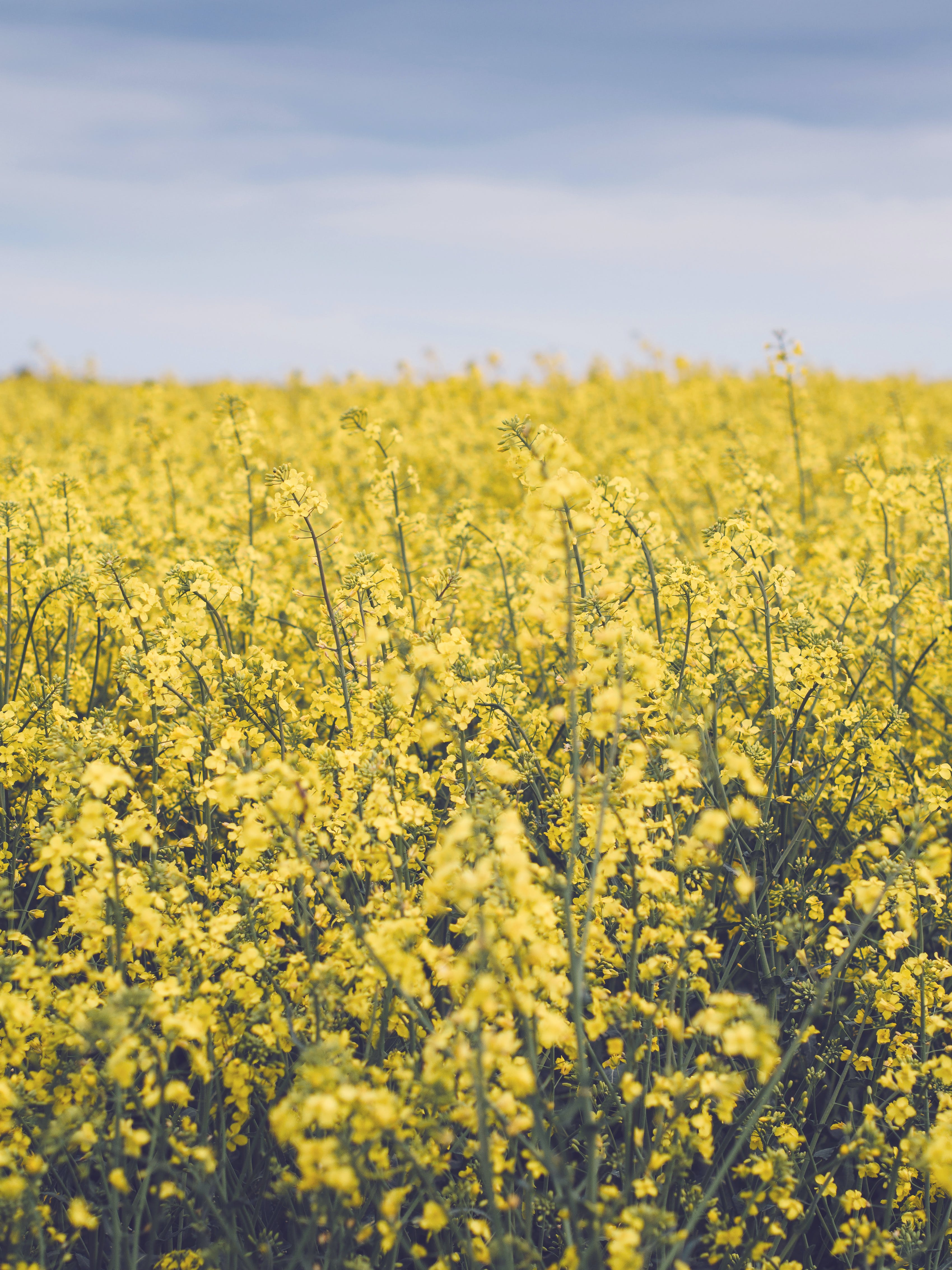 Free stock photo of field, flowers, yellow, plants