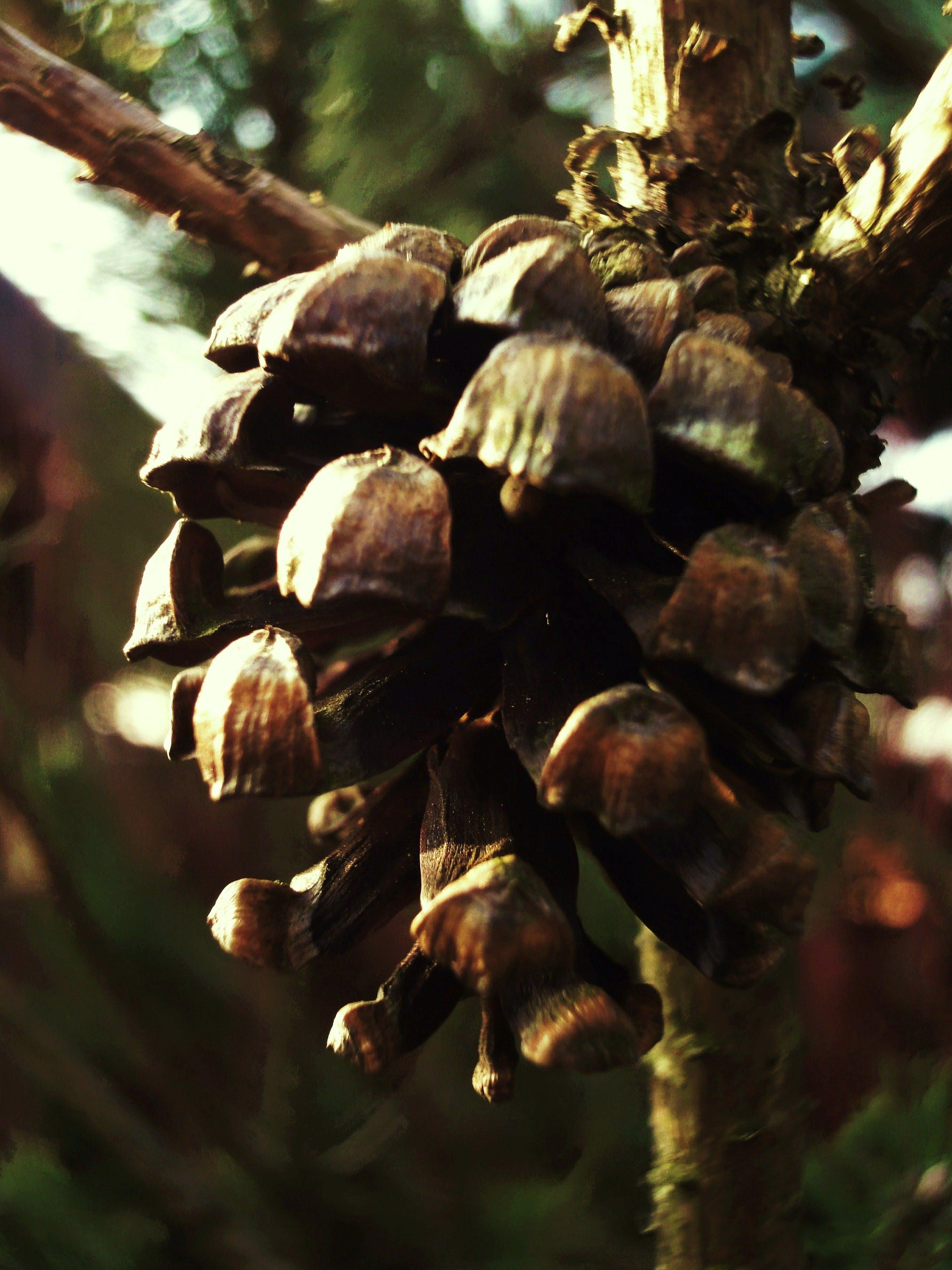 Free stock photo of cone, pine