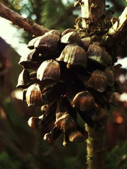 Free stock photo of pine, cone