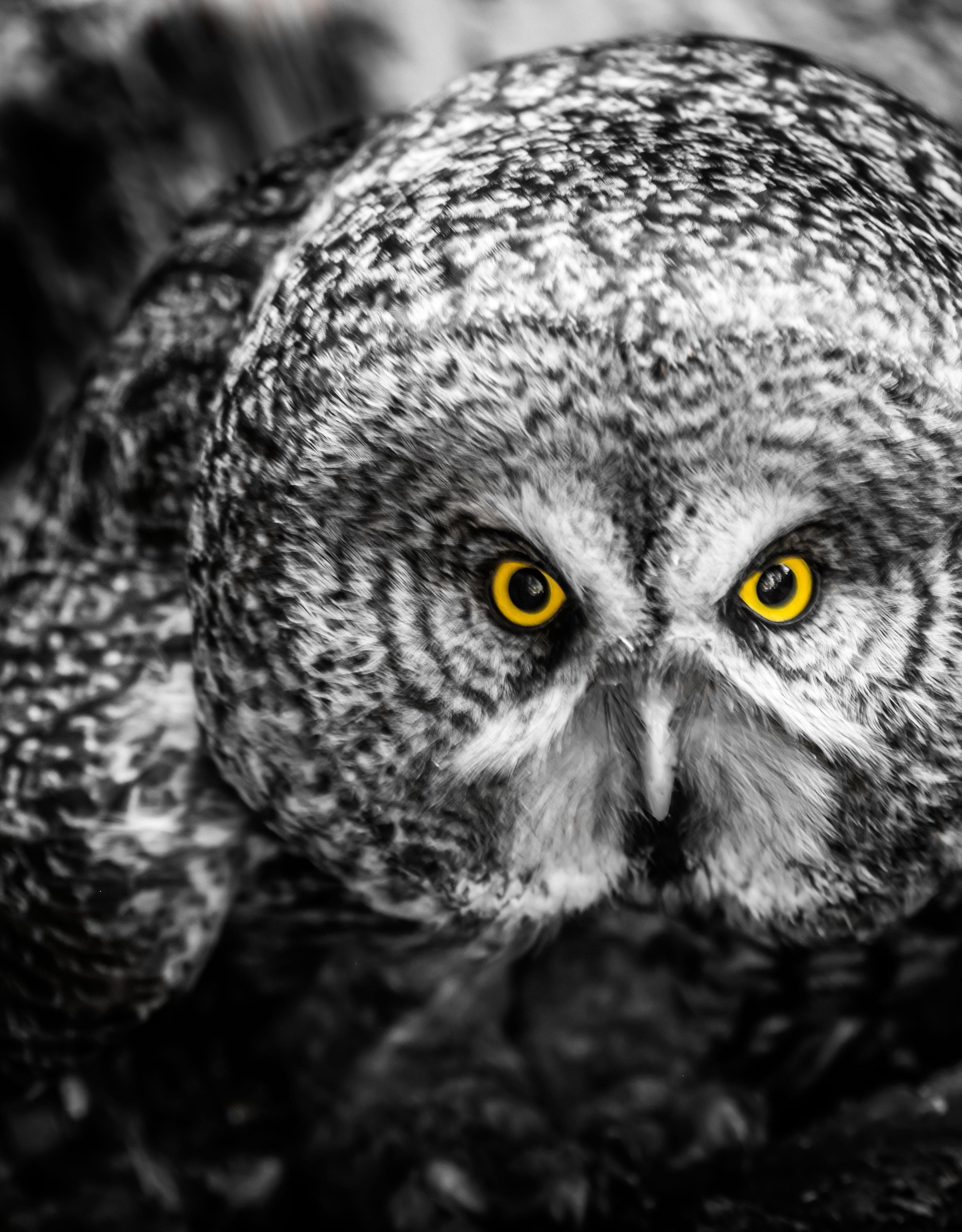 Free stock photo of birds, eyes, great grey, owl