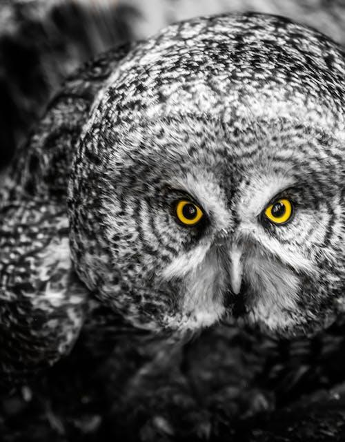 눈, 올빼미, 응시하다, 큰 회색의 무료 스톡 사진