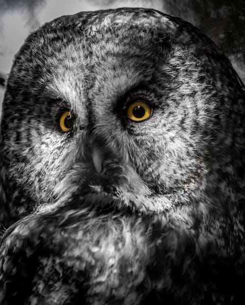 Imagine de stoc gratuită din bufniță, mare gri, ochi, privire