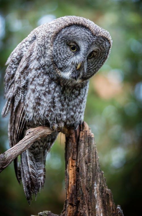 눈, 올빼미, 큰 회색의 무료 스톡 사진