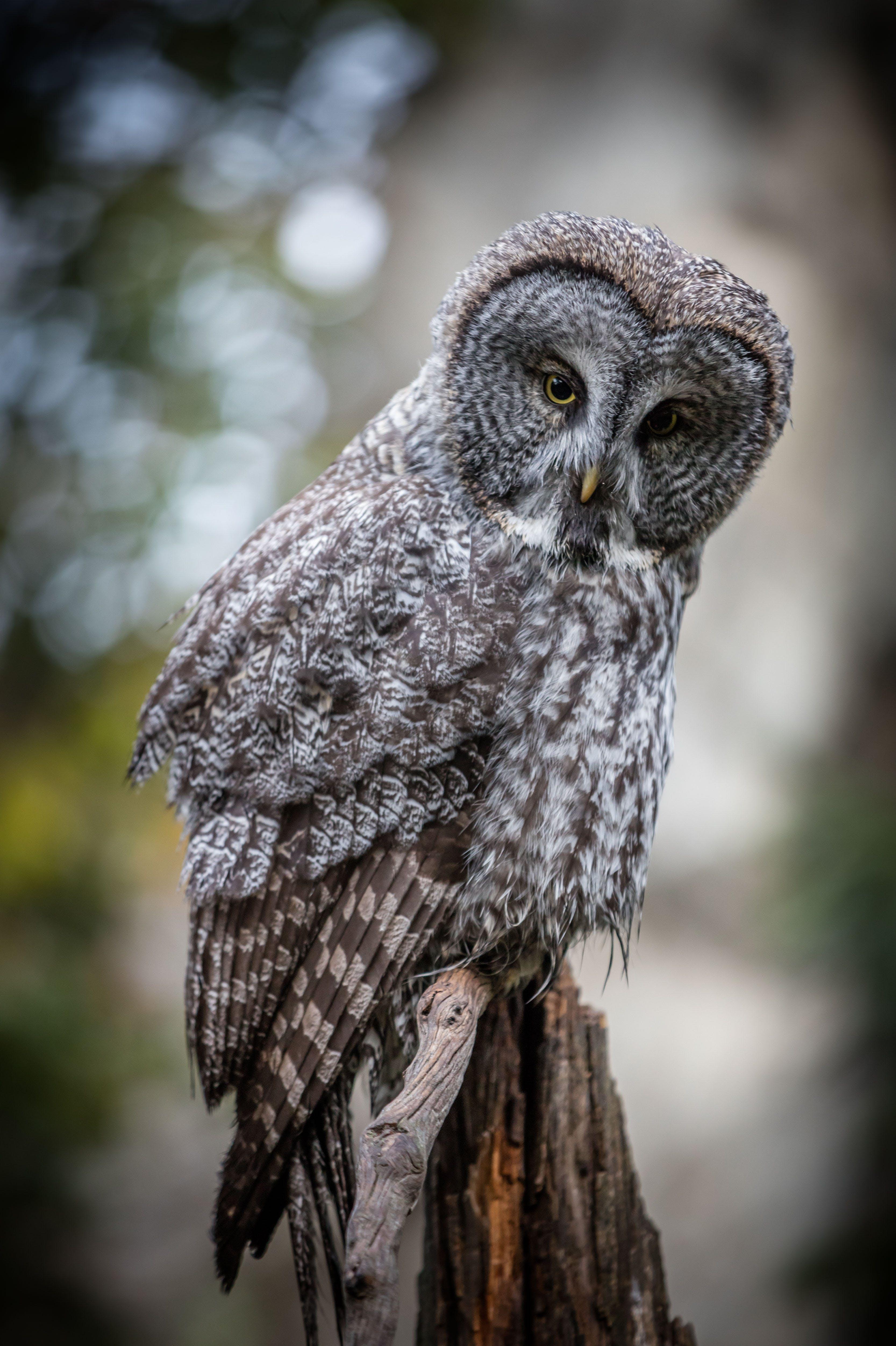 Free stock photo of birds, great grey, owl, stare