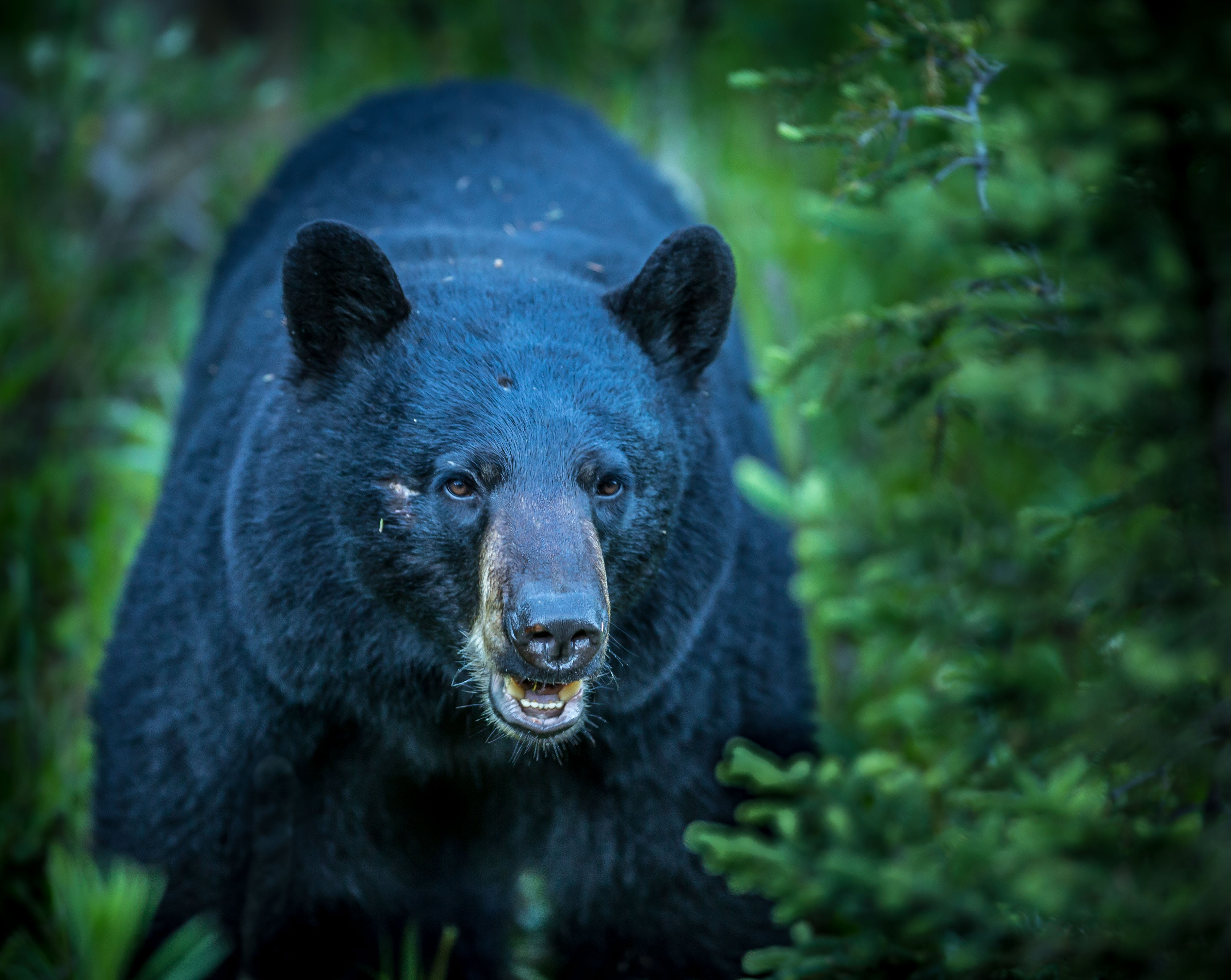 Free stock photo of animal, bear, black bear