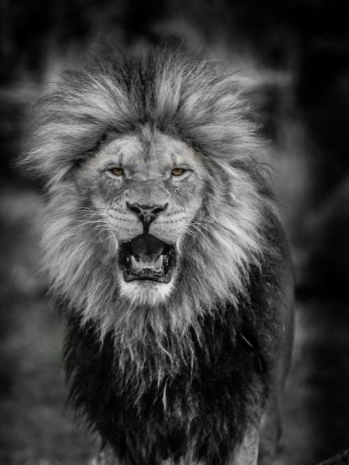 Imagine de stoc gratuită din animal, coamă, leu