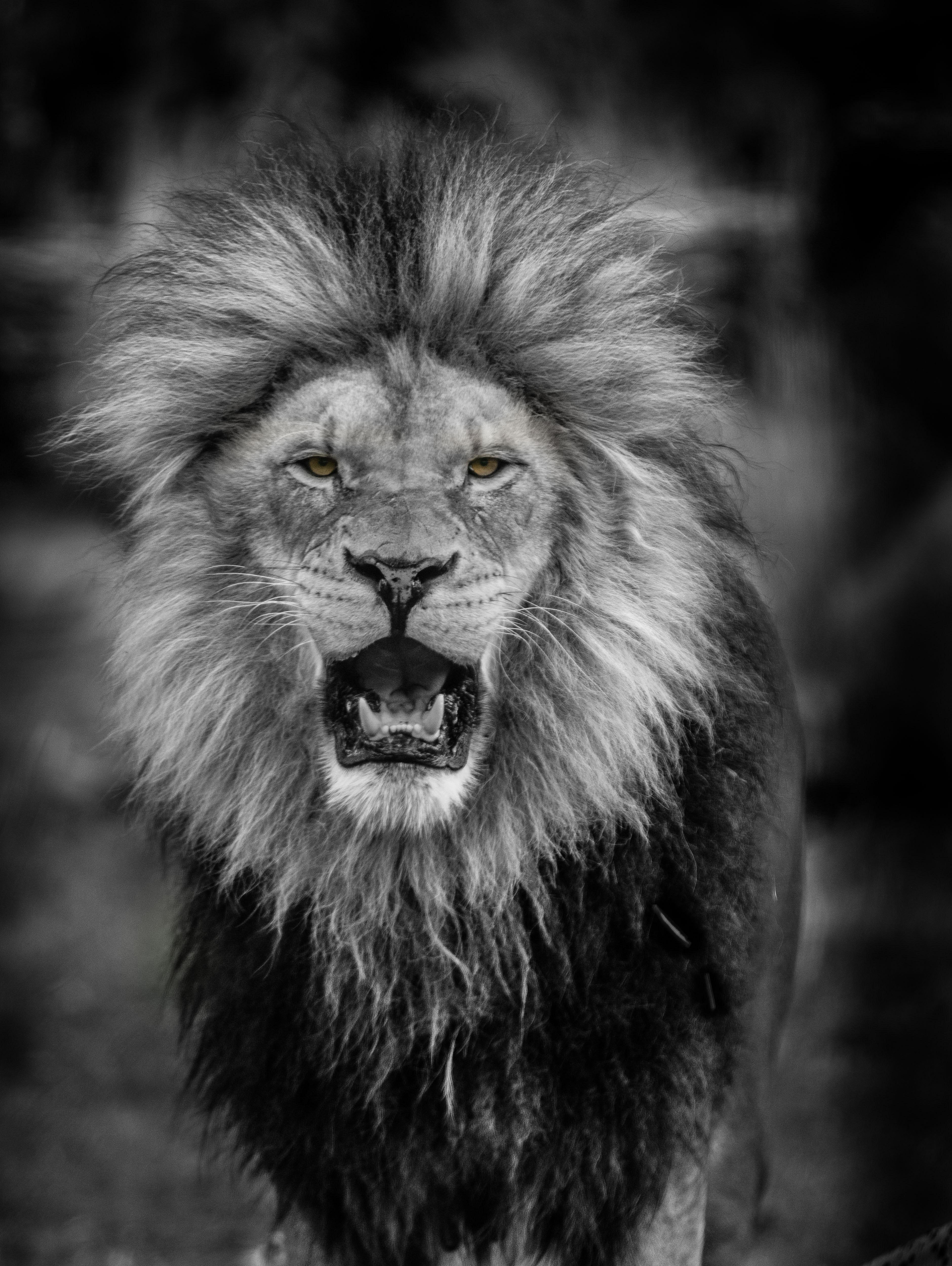 Free stock photo of animal, lion, mane
