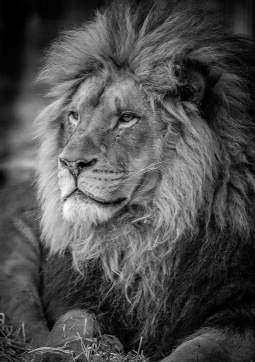 Imagine de stoc gratuită din animal, leu
