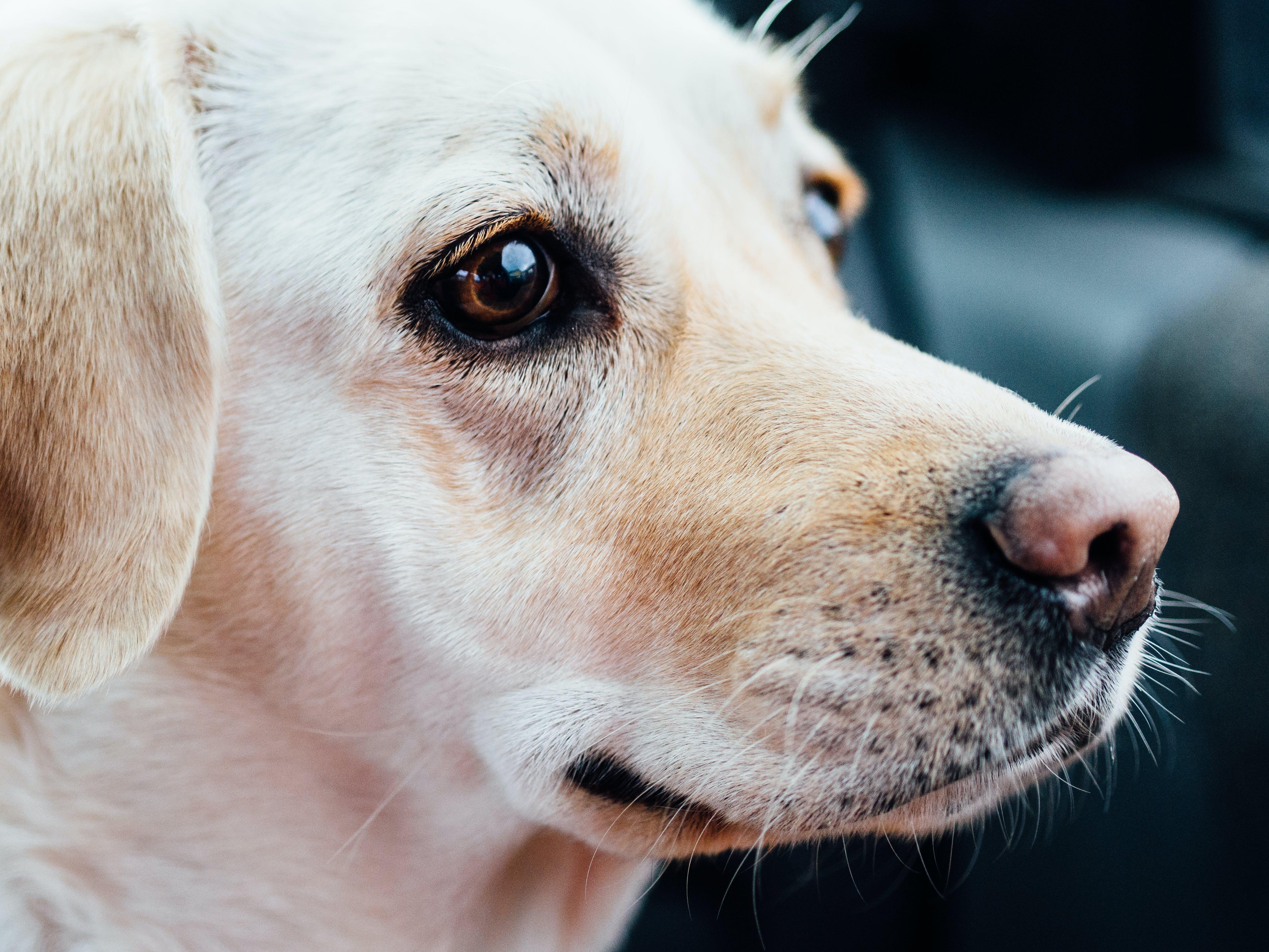 Closeup Photography of Yellow Labrador Retriever
