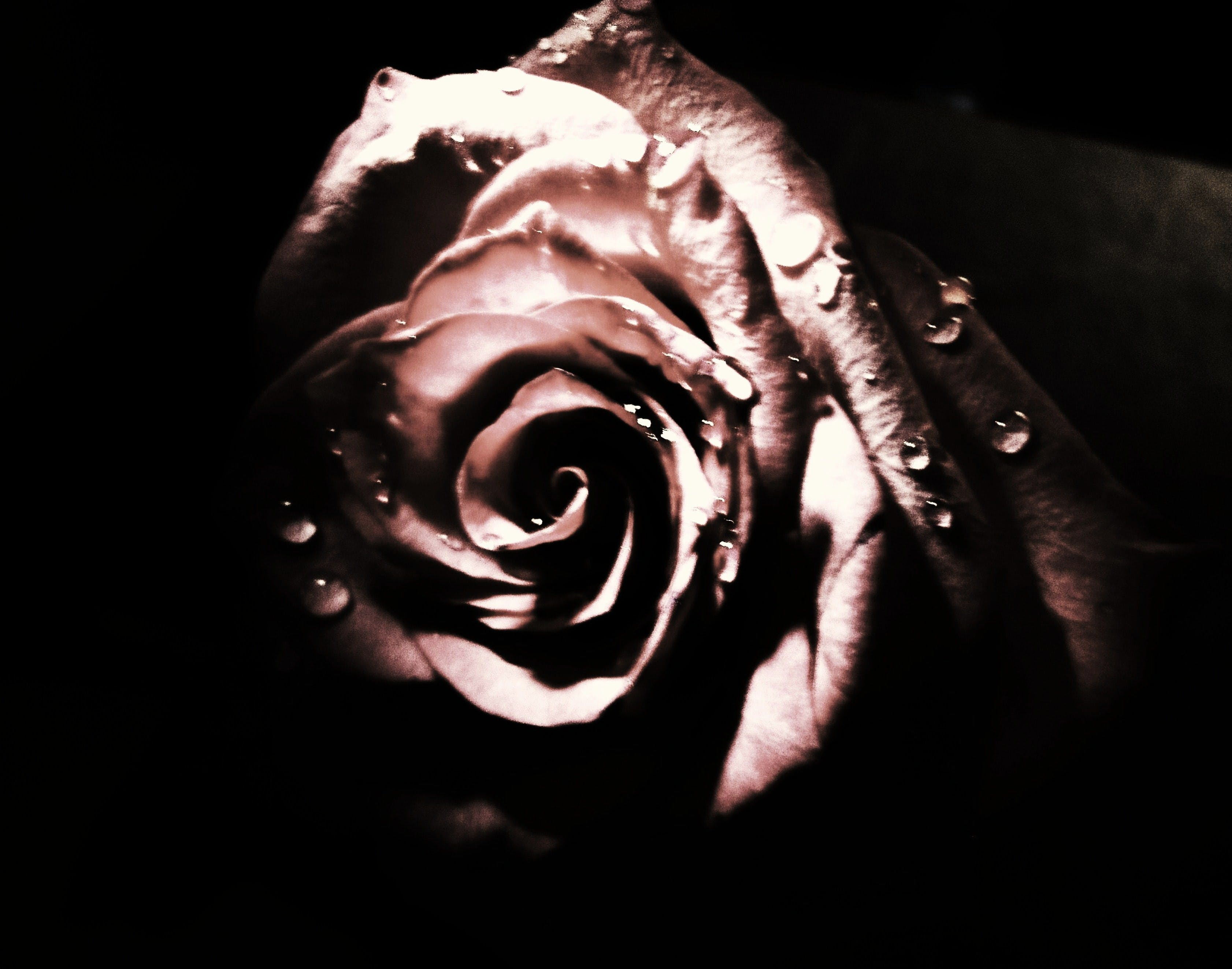Free stock photo of petals, rose, tears