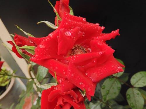Fotos de stock gratuitas de gotitas de agua, Rosa, Rosa roja