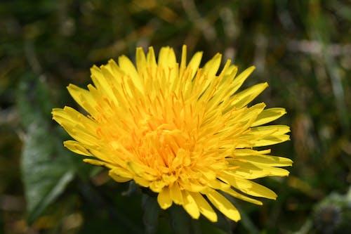 Fotos de stock gratuitas de diente de león, flor, flor amarilla
