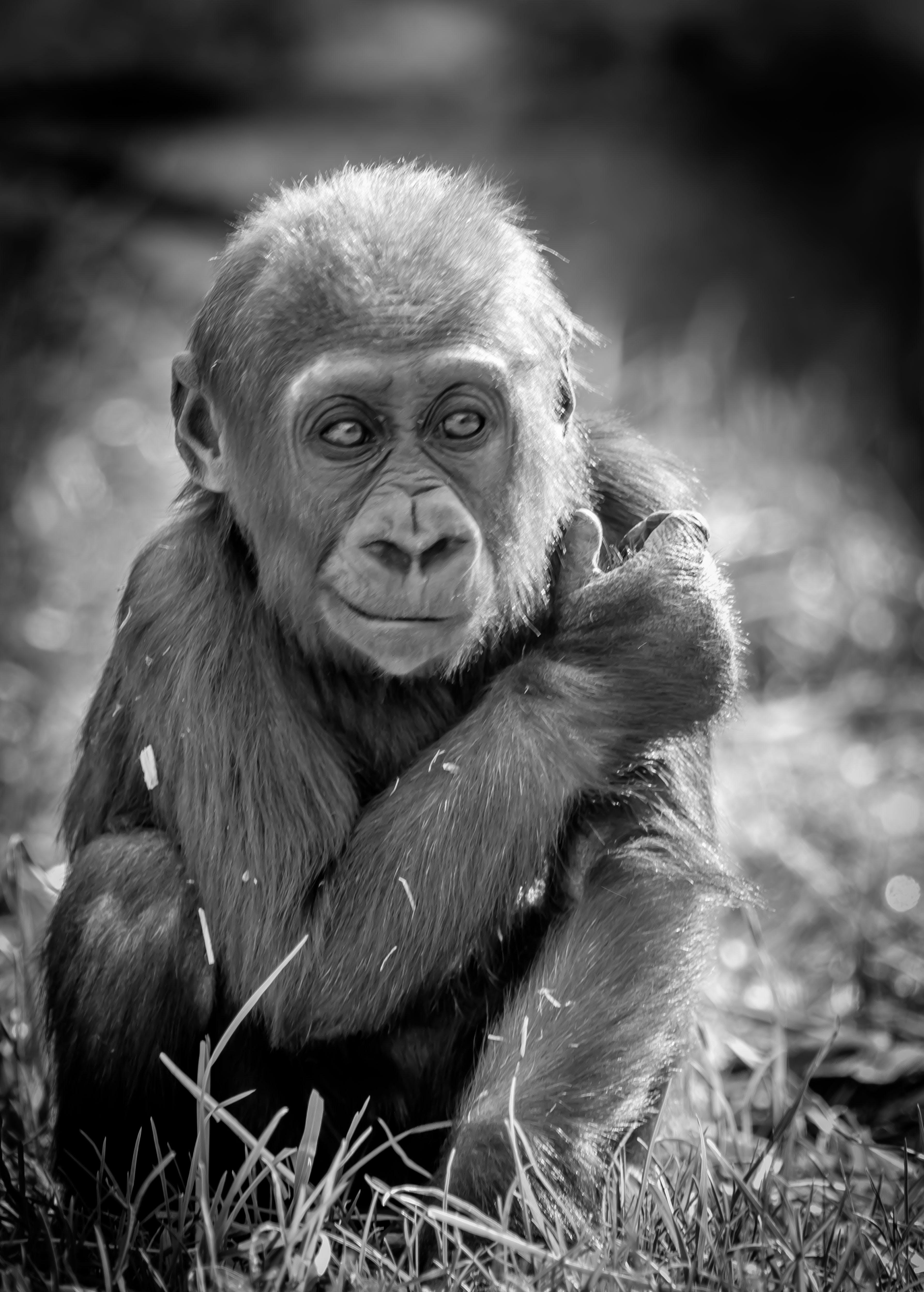 Free stock photo of baby, gorilla, hang loose, looking' good