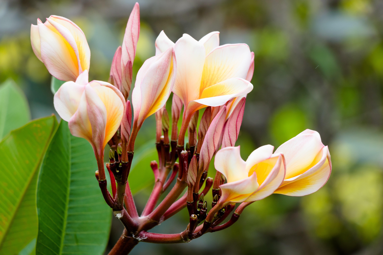 Free stock photo of beautiful flowers, exotic, flower, Krabi
