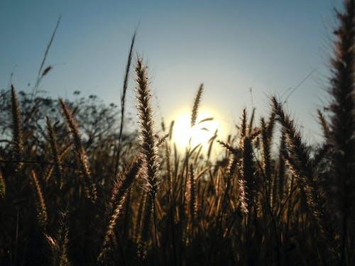 Бесплатное стоковое фото с завод, зерновые, рожь, трава