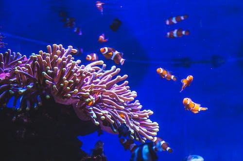 Kostnadsfri bild av akvarium, barcelona, blått vatten, Clownfisk