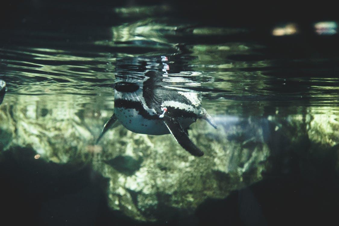 企鵝, 巴賽隆納, 水彩