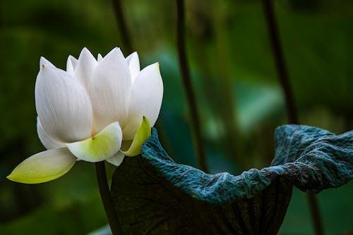White Lotus Flower Near Green Leaf