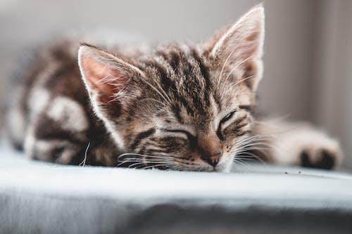 Immagine gratuita di amante degli animali, amanti dei gatti, animale