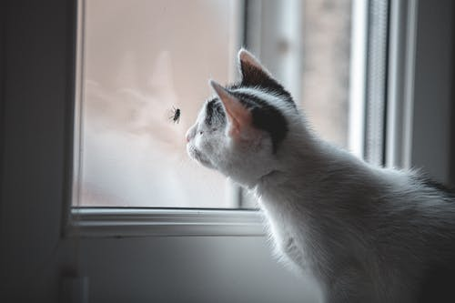 White and Black Cat Looking at the Window