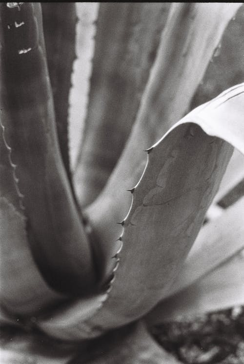 Close-Up Photo of an Aloe Vera Plant