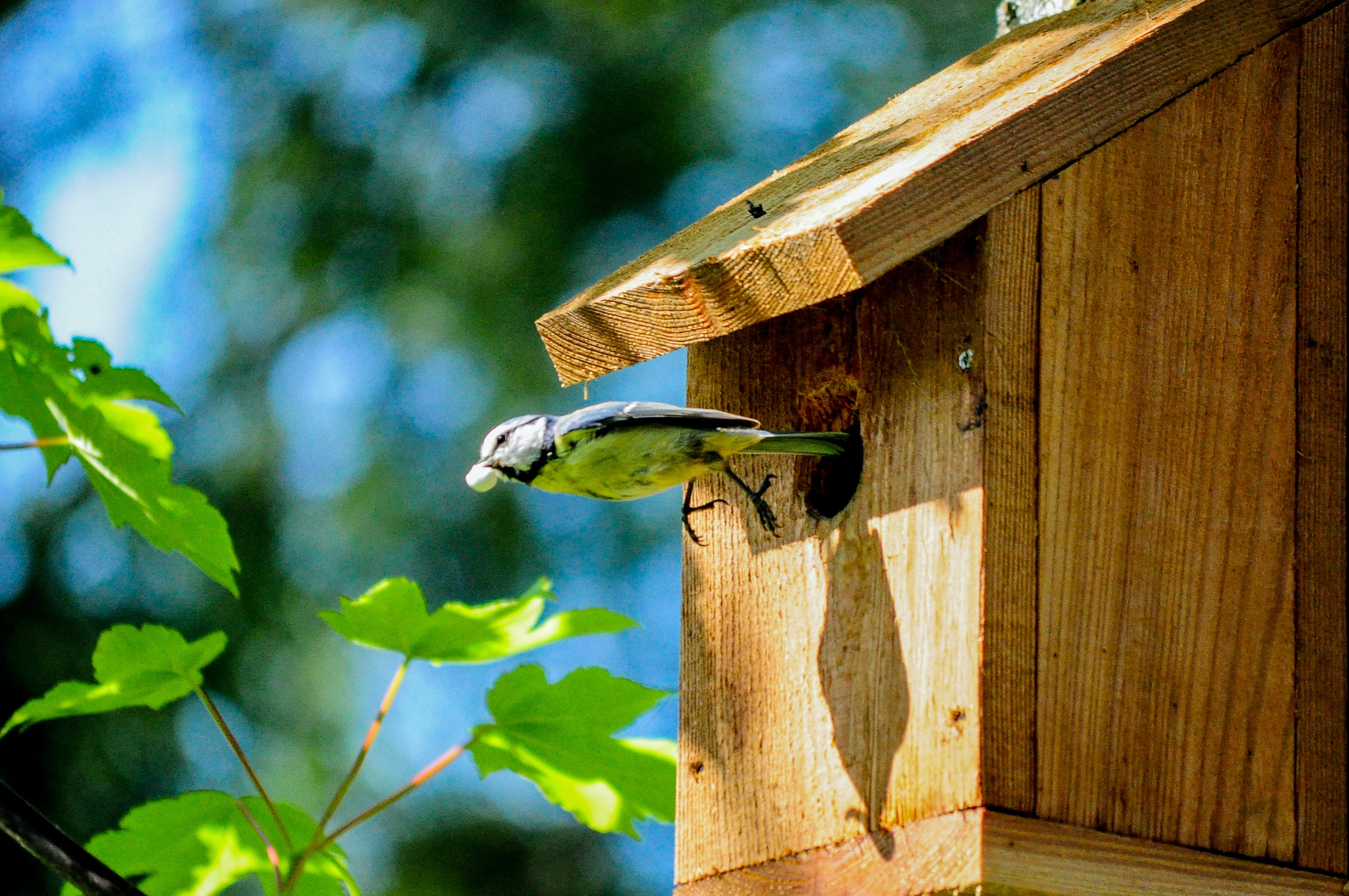 Selective Focus Photography of Eurasian Blue Tit Bird Coming Out from Brown Wooden Birdhouse