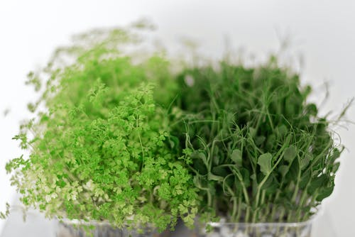 Fresh Sprouts of Microgreens