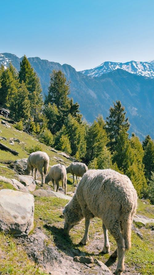 Grazing Sheep On Mountainside