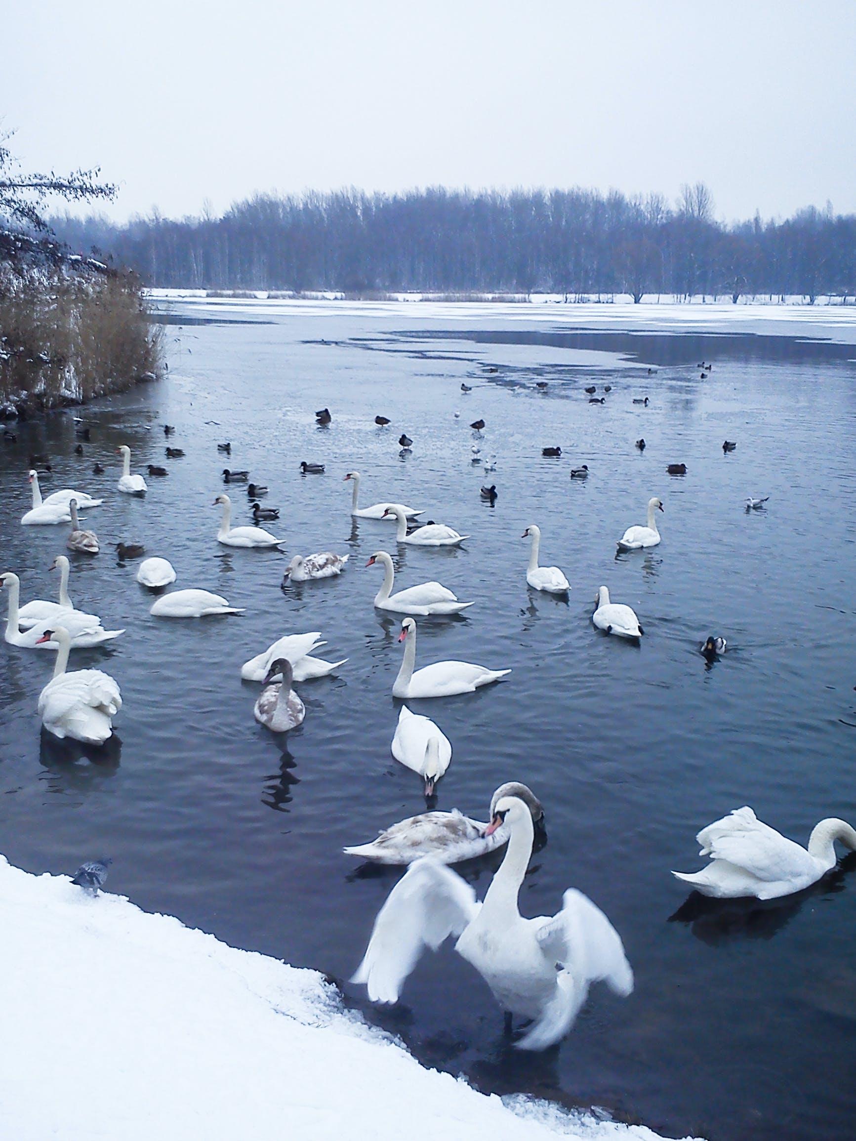 Free stock photo of lake, swan, duck, walk
