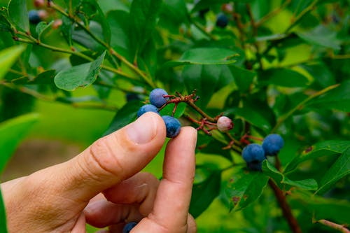 Blue Berries on Persons Hand