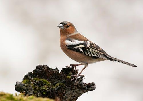 Gratis lagerfoto af bogfinke, natur, vild fugl