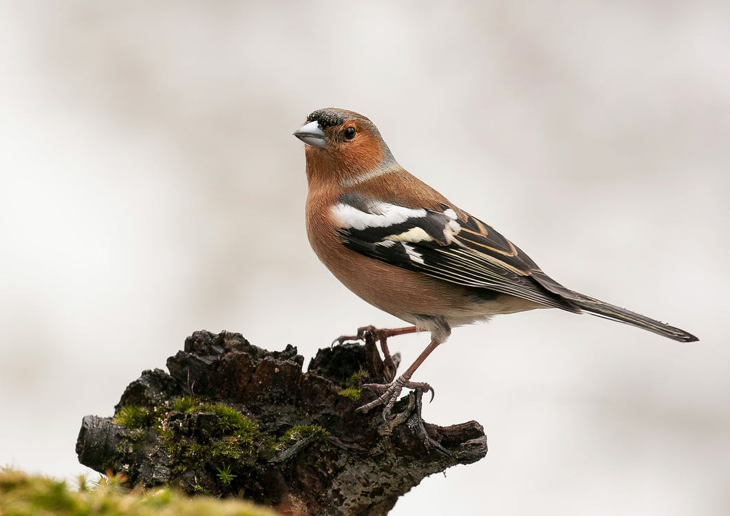 natureza, pássaro selvagem, tentilhão