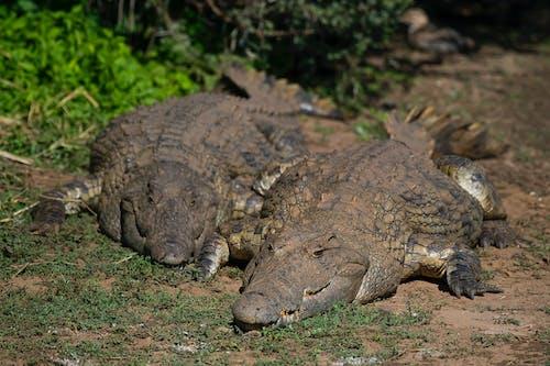Kostenloses Stock Foto zu alligator, amphibie, draußen