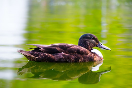 Free stock photo of water, close-up view, wild, duck