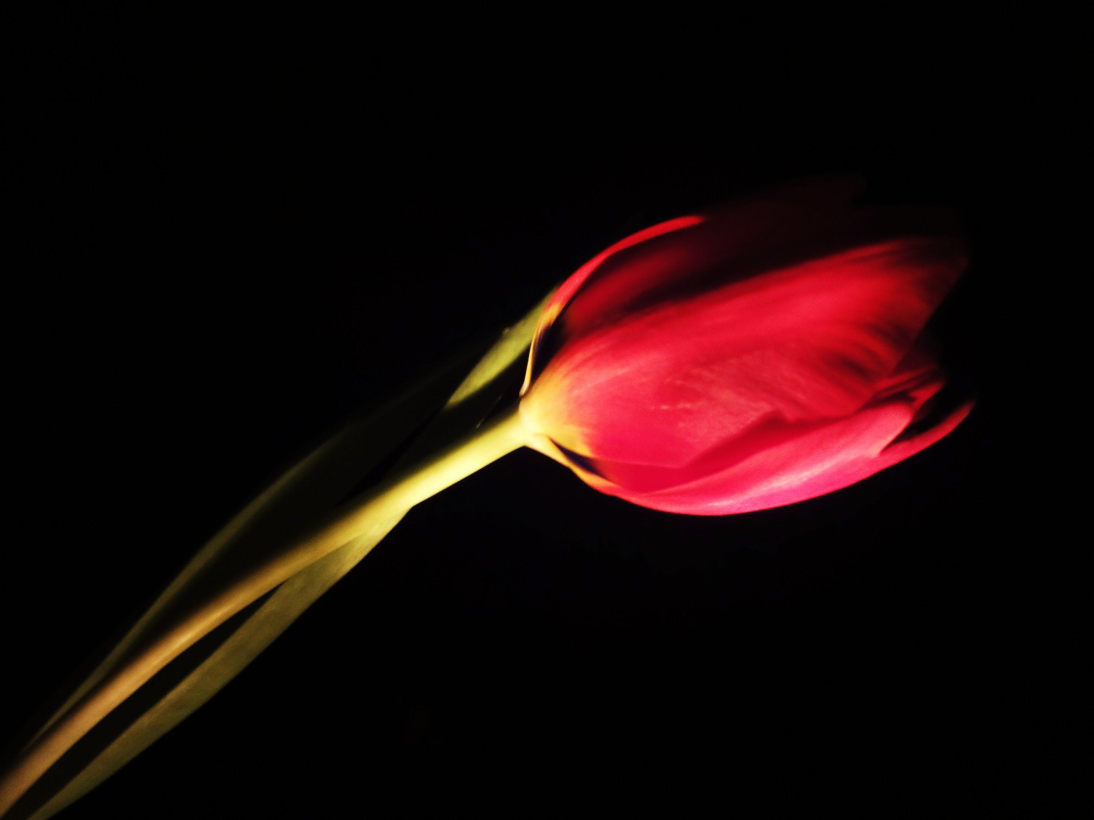 Free stock photo of spring, flower, tulip