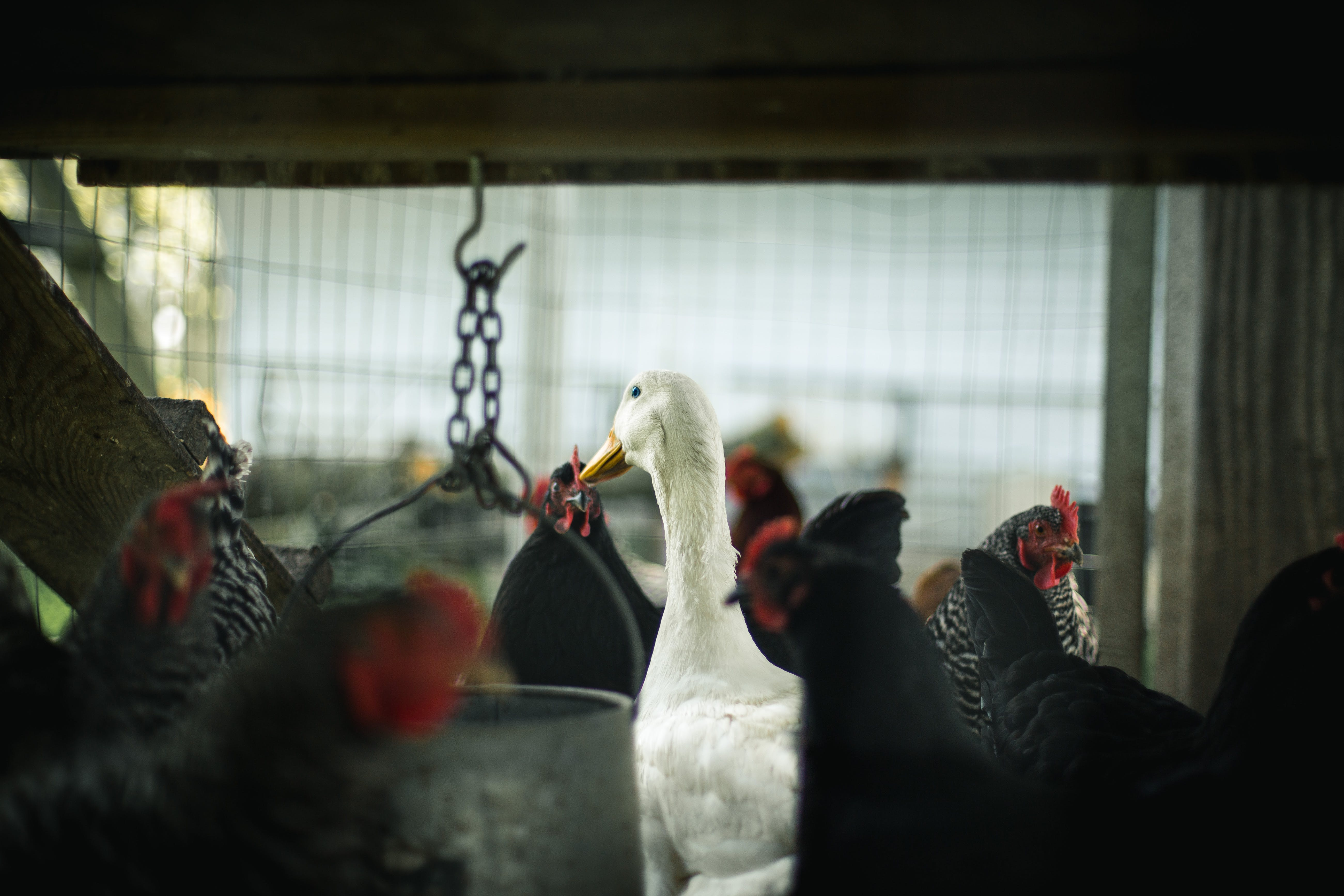 Selective Focus Photography of Flock of Roosters and White Domesticated Goose Inside the Cage