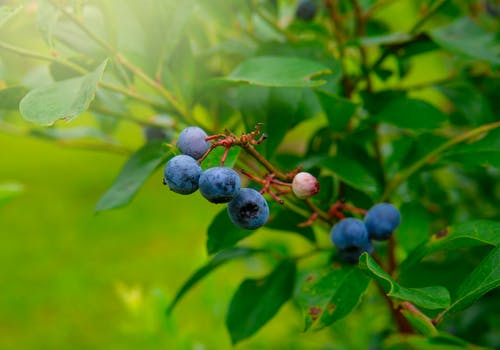 Free stock photo of active, beautiful, berries