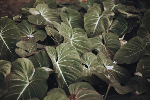 A Bunch of Philodendron Plants
