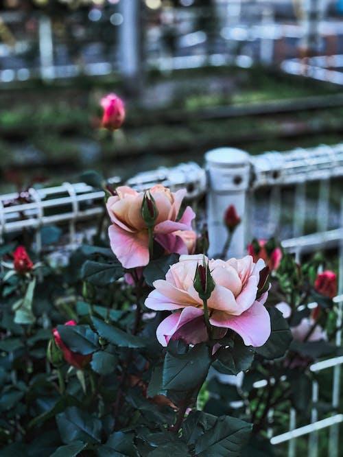 Darmowe zdjęcie z galerii z czerwiec, Droga Różana Minami-Otsuka, japonia