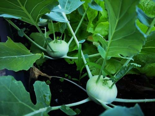 Kostenloses Stock Foto zu essen, gemüse, kohlrabi