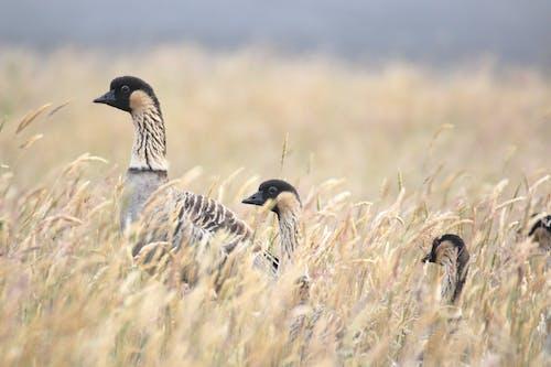 Free stock photo of animal, endangered, geese